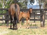 Breednet Gallery - Star Witness Amarina Farm