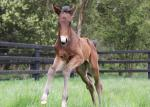 Breednet Gallery - Time Thief Yallambee Stud (for Sampson and Taite)