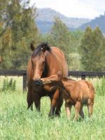 Breednet Gallery - Widden Valley Amarina Farm