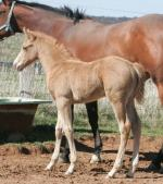 Breednet Gallery - Glacial Gold (USA) Winning Colours Farm
