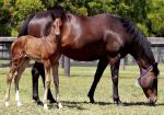 Breednet Gallery - High Chaparral (IRE) Coolmore (for Matrix Bloodstock)