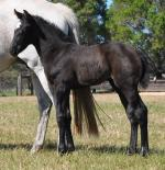 Breednet Gallery - More Than Ready (USA) Coolmore