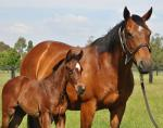 Breednet Gallery - Medaglia D'Oro (USA) Coolmore (for Anthony Cummings and partners)