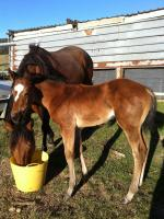 Breednet Gallery - Dr Doute's Tarian Dixon