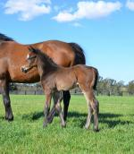 Breednet Gallery - So You Think Coolmore (for Ingham Bloodstock)