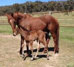 Breednet Gallery - Dr Doute's Keirabri Stud