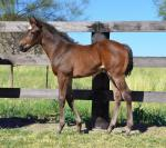 Breednet Gallery - So You Think Strawberry Hill Stud