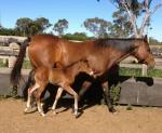 Breednet Gallery - Foreplay Eucallea Equine