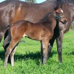 Breednet Gallery - High Chaparral (IRE) Monarch Stud