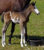 Breednet Gallery - Ellusive Look (USA) Striker Park Performance Horses