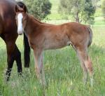 Breednet Gallery - Toorak Toff Blue Gum Farm
