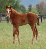 Breednet Gallery - Snitzel Arrowfield Stud
