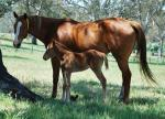 Breednet Gallery - Hussonet (USA) Cornerstone Stud