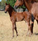 Breednet Gallery - Canford Cliffs (IRE) Blue Gum Farm
