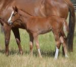 Breednet Gallery - Husson (Chi) Blue Gum Farm
