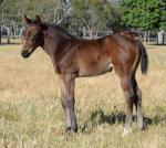 Breednet Gallery - Mulaazem Blue Gum Farm
