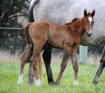 Breednet Gallery - Star Witness Kitchwin Hills