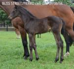 Breednet Gallery - Pierro Morning Rise Stud