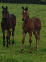 Breednet Gallery - Shamoline Warrior Bluegables Farm, NZ