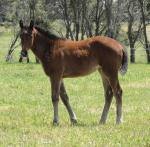 Breednet Gallery - Needs Further Armidale Stud