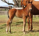 Breednet Gallery - I Am Invincible Yarraman Park