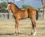 Breednet Gallery - Foxwedge Berkeley Park Stud