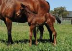 Breednet Gallery - Dawn Approach (IRE) Crowning Stone, NSW