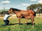 Breednet Gallery - Equiano (Fr) Hollylodge, Vic