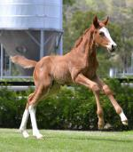 Breednet Gallery - Congrats (USA) Kitchwin Hills, NSW