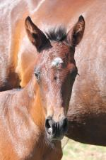 Breednet Gallery - More Than Ready (USA) Vinery Stud, NSW