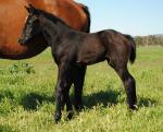 Breednet Gallery - The Factor (USA) Crowningstone