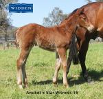 Breednet Gallery - Star Witness Widden Stud