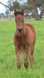 Breednet Gallery - The Wow Signal (IRE) Swettenham Stud, Vic