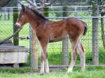 Breednet Gallery - Warhorse Bombora Downs