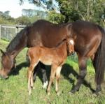 Breednet Gallery - Husson (Arg) Bombora Downs, Vic