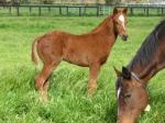 Breednet Gallery - Toronado (IRE) Musk Creek Farm, Vic