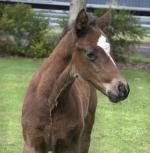 Breednet Gallery - Dawn Approach (Ire) Kitchwin Hills