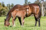 Breednet Gallery - Redoute's Choice Holbrook Thoroughbreds