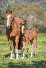 Breednet Gallery - Smart Missile Holbrook Thoroughbreds