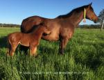 Breednet Gallery - I Am Invincible Riversdale Farm, NSW