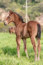 Breednet Gallery - Olympic Glory (IRE) Forest Lodge, NSW