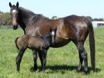 Breednet Gallery - Jungle Ruler Bombora Downs, Vic