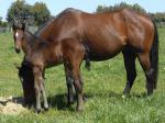 Breednet Gallery - Pellizotti Bombora Downs, Vic