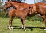 Breednet Gallery - Better Than Ready Kynoch Thoroughbreds, QLD