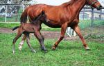 Breednet Gallery - Zebedee (GB) Mark Owens, Qld