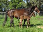 Breednet Gallery - Canford Cliffs (IRE) Bombora Downs, Vic