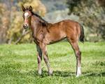 Breednet Gallery - So You Think Holbrook Thoroughbreds, NSW