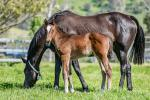 Breednet Gallery - Animal Kingdom (USA) Holbrook Thoroughbreds, NSW