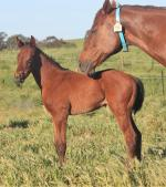 Breednet Gallery - More Than Ready (USA) Chatswood Stud, Vic