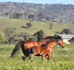 Breednet Gallery - Reward for Effort Chatswood Stud, Vic